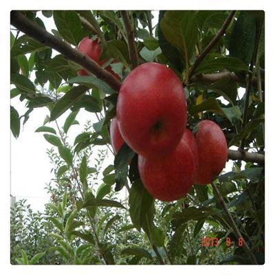 这是一张关于烟富8号苹果树苗 0.5~1米 的产品图片