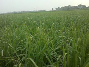 广西壮族自治区贵港市覃塘区富生韭菜 二茬 20cm以下