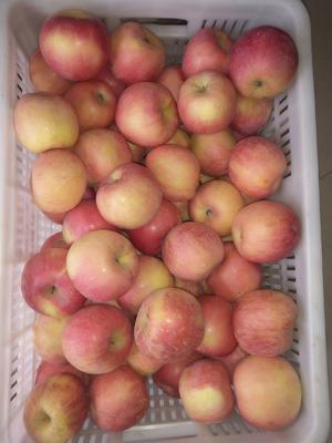 江苏省淮安市洪泽县红富士苹果 75mm以上 片红 光果