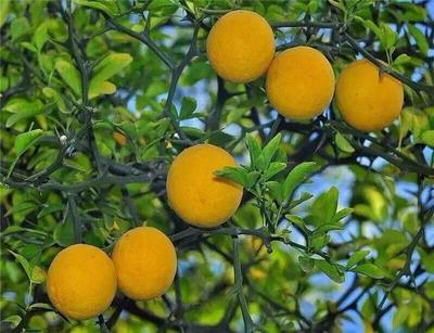 这是一张关于枸橘苗 移栽苗 0.2~0.35米 的产品图片