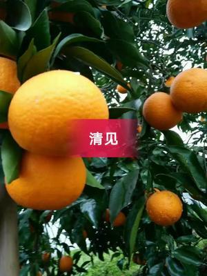 这是一张关于青见柑桔 7 - 7.5cm 3两以上 的产品图片
