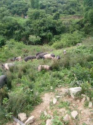 四川省达州市大竹县杂交香猪 20-40斤