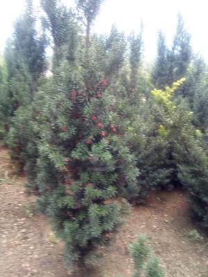 山东省威海市文登区曼地亚红豆杉 1.5~2米