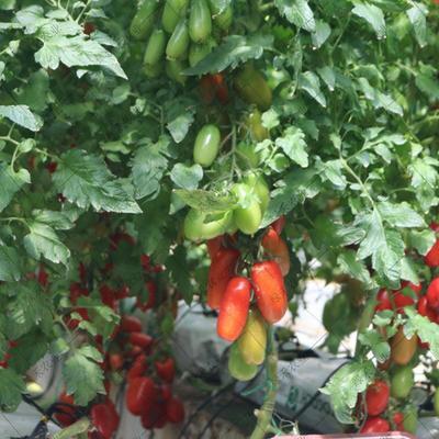 山东省济南市槐荫区香蕉番茄种子  杂交种 ≥90% 红果番茄籽四季盆栽