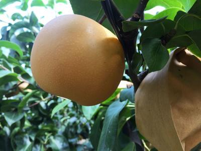 这是一张关于秋月梨树苗 1~1.5米 的产品图片