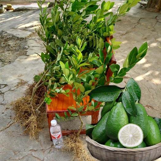 香水柠檬苗 嫁接苗 种半年开花结果,产量高