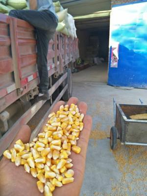 甘肃省陇南市康县玉米干粮 净货 水份14%-16%