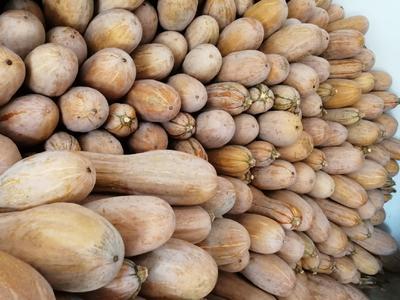 这是一张关于蜜本南瓜 6~10斤 的产品图片