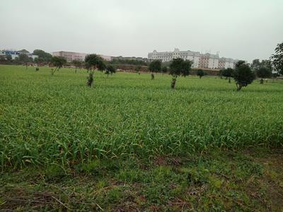 江西省南昌市南昌县红皮大蒜 4.5cm以下 多瓣蒜