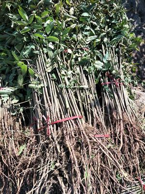 这是一张关于矮化香椿苗 2公分以下 的产品图片