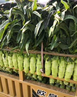 山东省临沂市兰陵县红叶香莴苣 1.5~2.0斤 50-60cm
