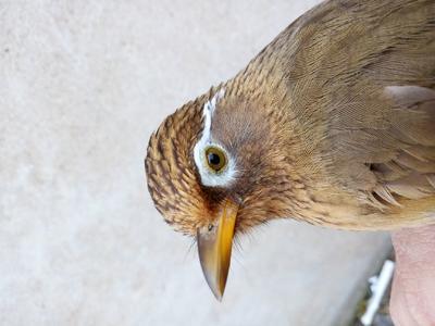 这是一张关于画眉鸟 的产品图片