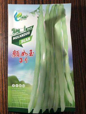 河北省保定市定州市四季豆种子  白不老