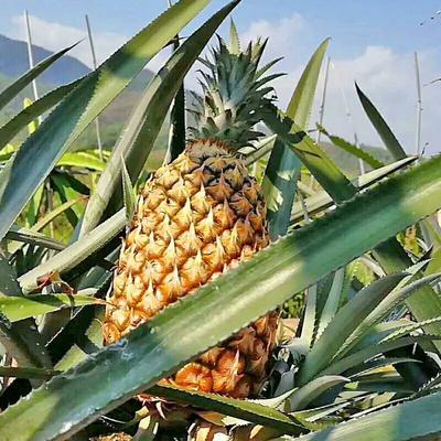海南省三亚市海棠区手撕菠萝 1 - 1.5斤