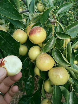 这是一张关于梨枣苗 的产品图片