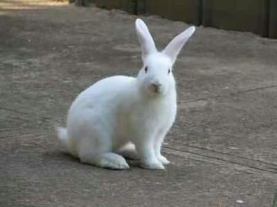 山东省菏泽市郓城县獭兔种兔 3-5斤
