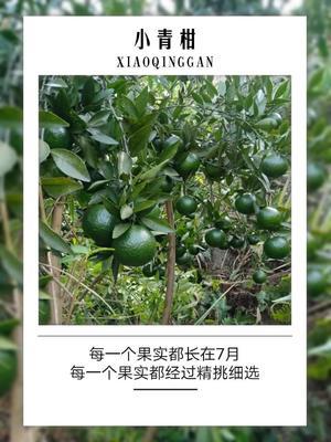 广东省清远市清新区柑普茶 一级 散装