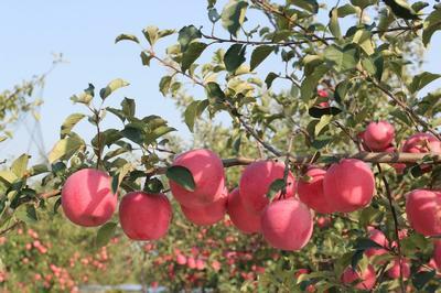 这是一张关于烟富10苹果苗 1~1.5米 的产品图片
