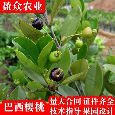 这是一张关于巴西樱桃苗 的产品图片