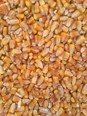 陕西省咸阳市永寿县玉米干粮 净货 水份14%-16%