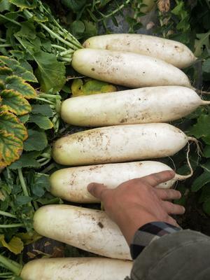 重庆渝北区白萝卜 2~2.5斤