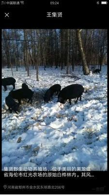 这是一张关于藏香猪 80斤以上 的产品图片
