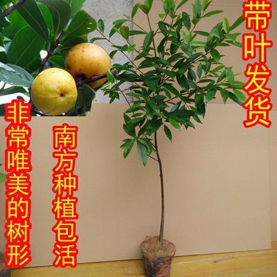 这是一张关于山竹树苗 龙檬树岭南山竹黄牙子的产品图片