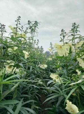北京东城区黄蜀葵 6 - 8cm
