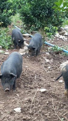 广西壮族自治区柳州市鱼峰区藏香猪 60斤以上