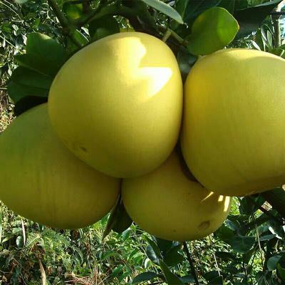 四川省自贡市大安区蜜柚 2.5斤以上