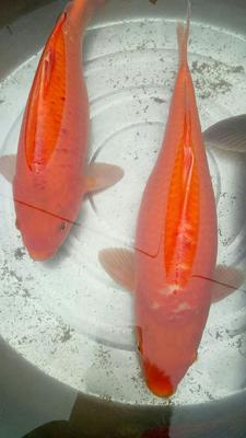 这是一张关于红鲤鱼 人工养殖 0.5-2.5公斤 的产品图片