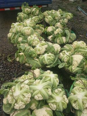 这是一张关于有机花菜 适中 2~3斤 的产品图片