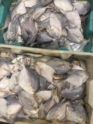 浙江省舟山市普陀区银鲳鱼 野生 1-1.5公斤