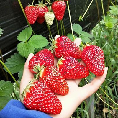 这是一张关于美王四季草莓苗 20~30公分 地栽苗 的产品图片