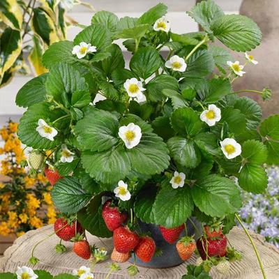 这是一张关于妙香7号草莓苗 20~30公分 地栽苗 的产品图片