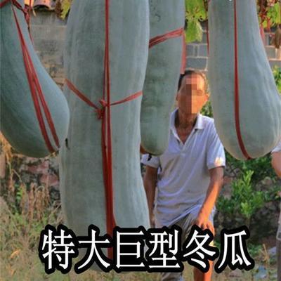 四川省凉山彝族自治州甘洛县冬瓜种子 原种 ≥90%