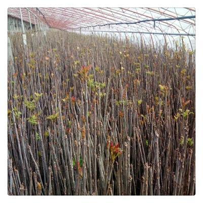 这是一张关于红油香椿苗 2公分以下 的产品图片