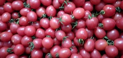 广西壮族自治区百色市田阳县千禧西红柿 精品 弧二以上 大红