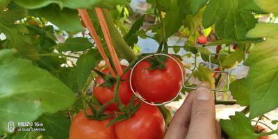 内蒙古自治区赤峰市宁城县欧盾番茄 通货 弧二以上 硬粉