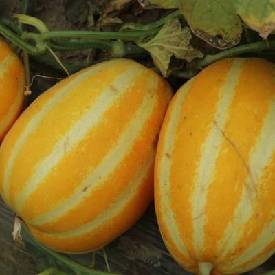山东省济南市槐荫区七宝甜瓜种子 杂交种 ≥85%