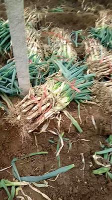 山东省潍坊市坊子区日本大葱 30cm以下 毛葱