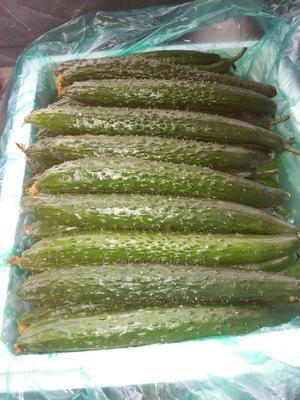 这是一张关于油亮密刺黄瓜 25~35cm 的产品图片