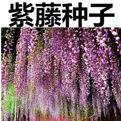 这是一张关于紫藤种子  全新种子的产品图片