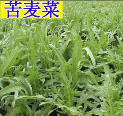 江苏省宿迁市沭阳县苦菜种子  苦荬菜种子牧草种子