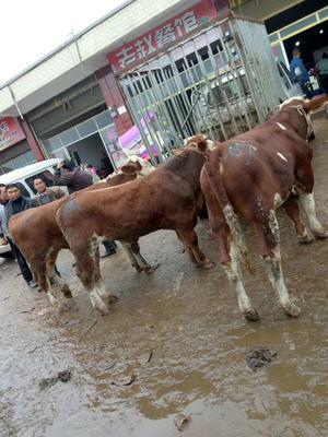 贵州省毕节市威宁彝族回族苗族自治县杂交牛 400-600斤 公牛