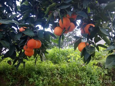 这是一张关于玫瑰香橙 60 - 65mm 4两 的产品图片