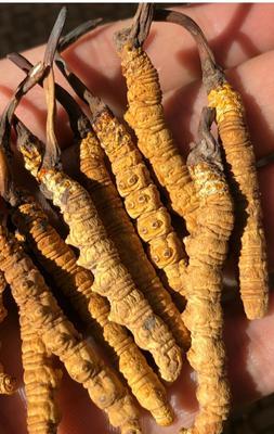 这是一张关于野生虫草花 的产品图片