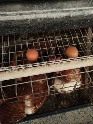这是一张关于普通鸡蛋 食用 箱装 的产品图片