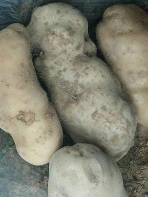 这是一张关于黄心土豆 3两以上 的产品图片