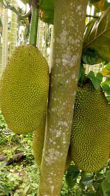 海南省海南省琼海市海南菠萝蜜 15斤以上